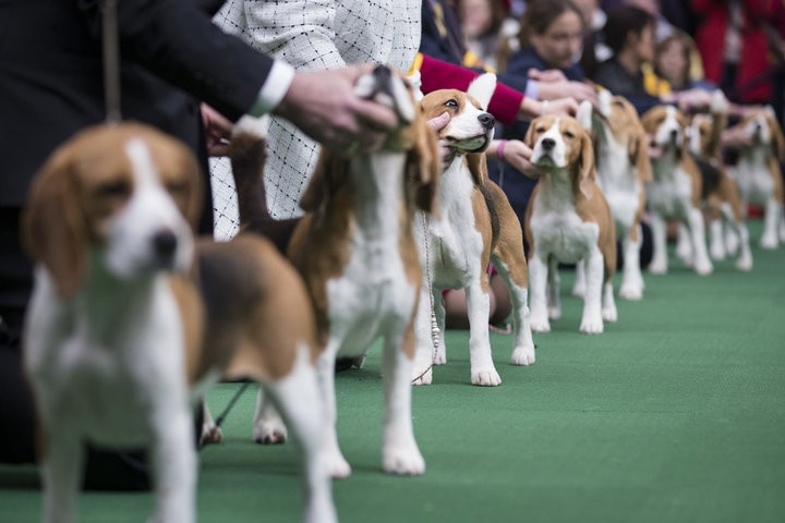 Beagles line up in the competition ring during the Westminster Kennel Club dog show, Monday, Feb. 10, 2014, in New York. (AP Photo/John Minchillo) ORG XMIT: NYJM124