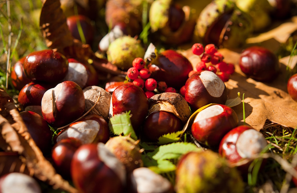 Conkers lying on the ground
