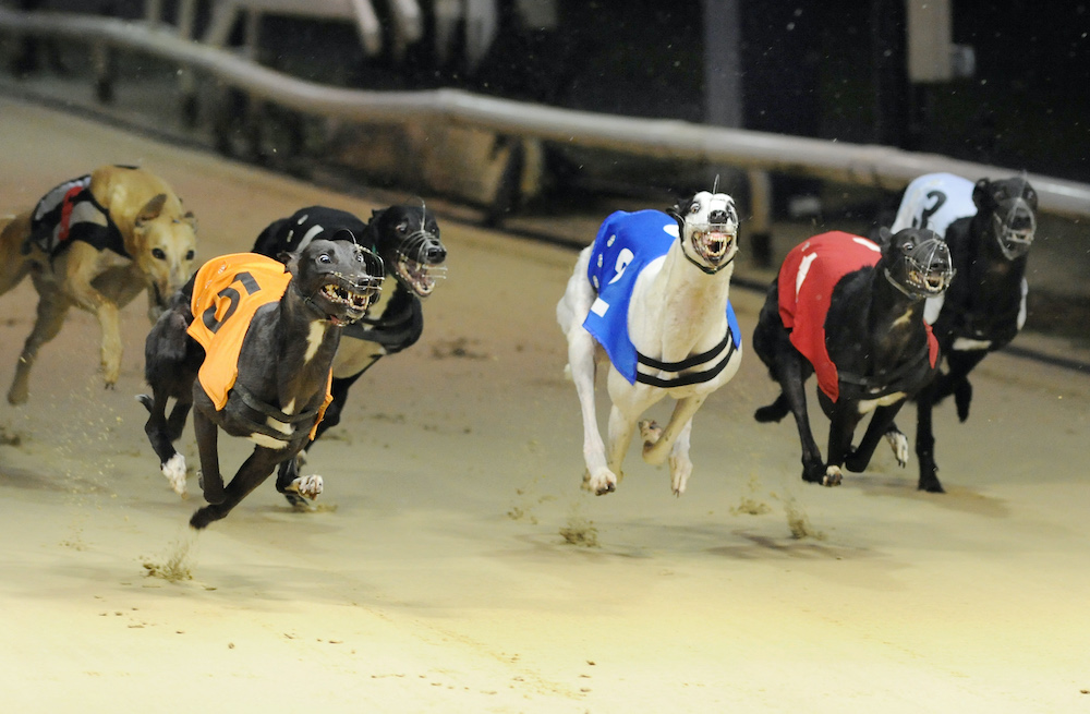 QUEEN ANNA (t5) takes early control of heat 2 of the Puppy Cup from Sporting Dave (t2). Romford 15th September 2017.