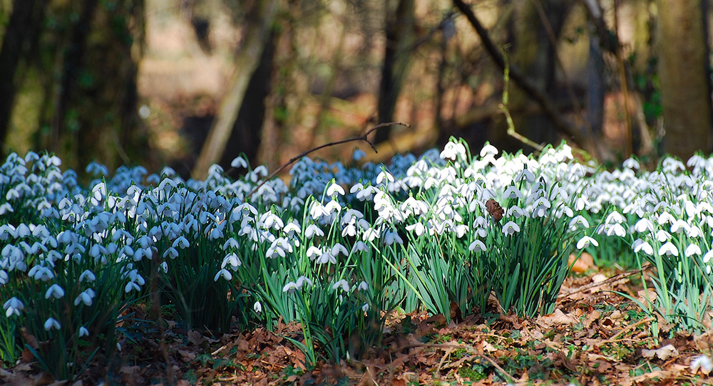 Evenley Wood Garden snowdrops