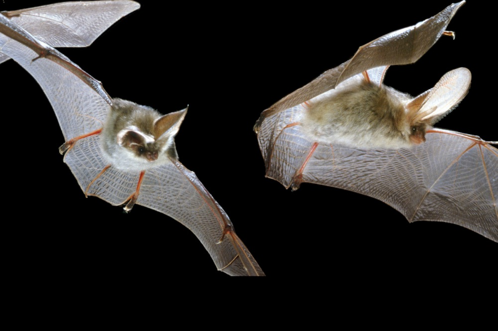 Nene Wetland Trust Bat Walks