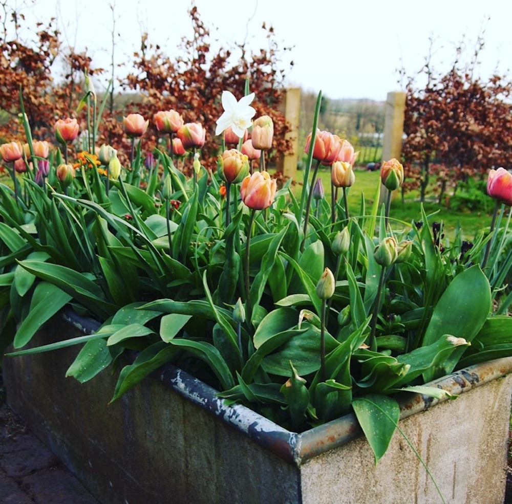 tulips and narcissi